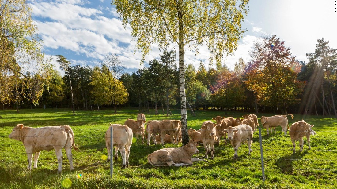 Not just any old cow will do. Polmard and his family raise Blonde Aquitaine cattle outside the small town of Saint Mihiel in the Meuse region of Lorraine, northeastern France.