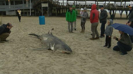A excellent white shark washed up upon Wrightsville Beach in North Carolina on Monday December 8, 2015 as well as went to UNCW Tuesday for a necropsy in order to figure out the cause for its death.