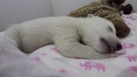 polar bear cub dreaming orig vstan jnd pkg_00001923.jpg
