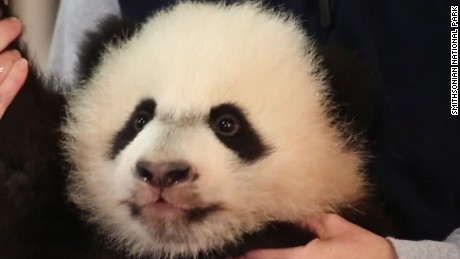 cnnee vo bei bei panda media debut _00004109