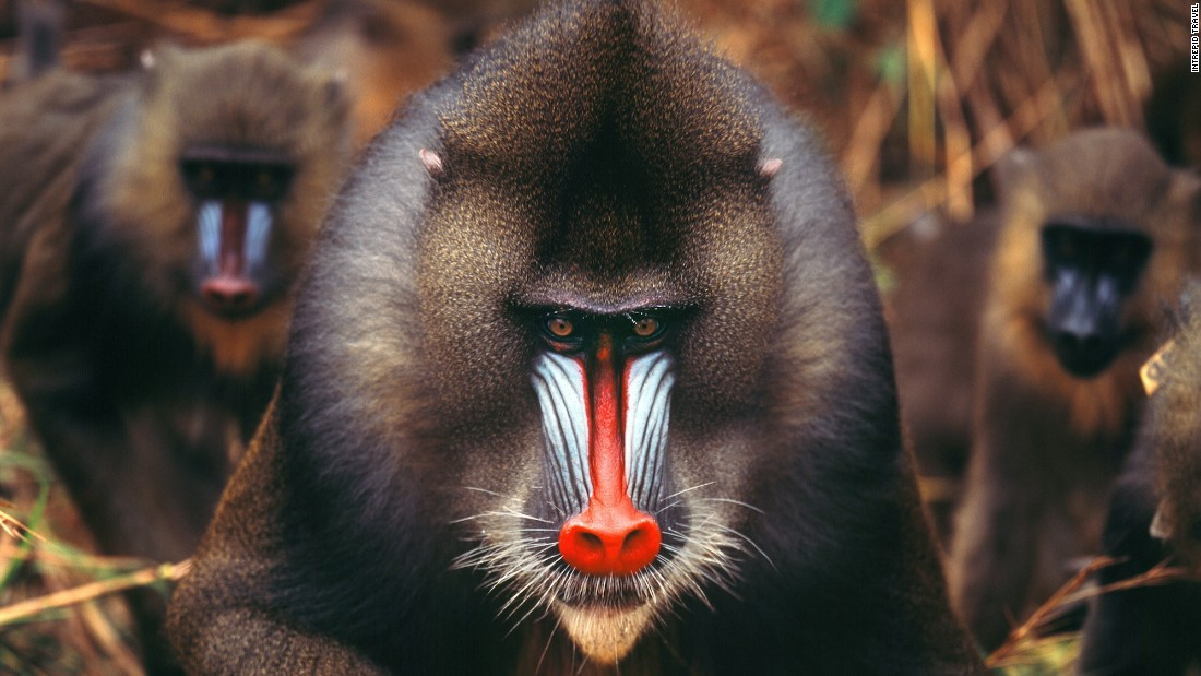 Though Gabon travel isn't easy, rewards are high. The former French colony, home to the gorgeous mandrill, has escaped the strife afflicting some of West Africa and is betting its future on green travel. In fact, 10 percent of the country's mass is national park land.
