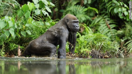 Spotted in Gabon, a western lowland gorilla.