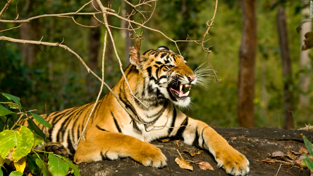 India's national parks offer some of the world's best opportunities to see tigers up close. Rajasthan's Ranthambore National Park and Karnataka's Nagarhole National Park are renowned tiger spotting destinations.