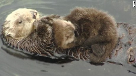 Wild sea otter gives birth at aquarium