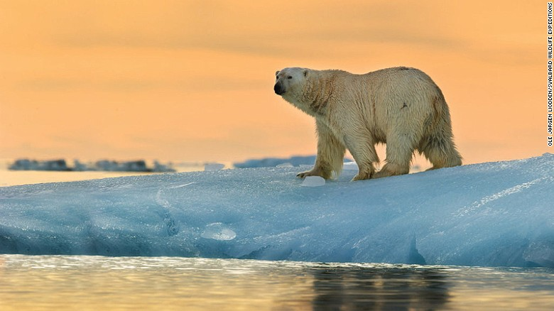 In glacier-filled Svalbard, some 3,500 bears outnumber the year-round residents. Svalbard Wildlife Expeditions offers several spectacular wildlife viewing tours.