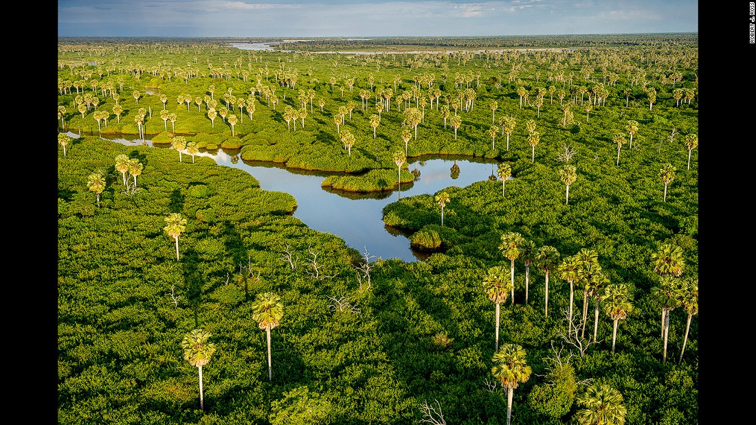 Borassus palms rise from the swamps between the Rufiji River and the northern lakes. The palms can grow up to 30 meters high.