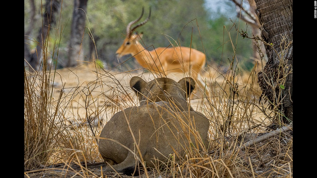 A lioness, well camouflaged in the dry savannah, stalks an unsuspecting gazelle. There are more lions in the Selous than any other protected area in Africa.