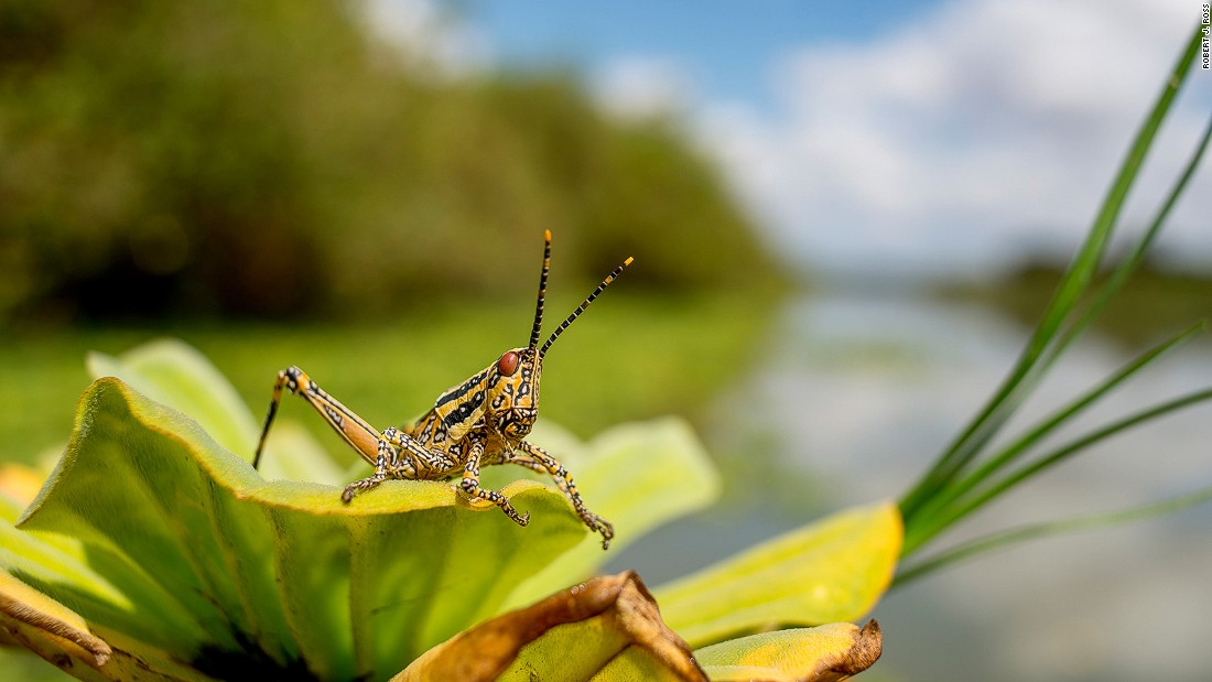 The aptly named elegant grasshopper appears by the thousands along the edges of the rivers and lakes in the northern Selous. It feeds on toxic plants, storing the toxins in its body as a defense against predators.