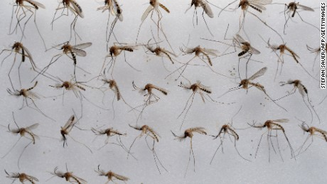 Common house mosquitoes (Culex pipiens) wait to be examined in a laboratory of the Friedrich-Loeffler-Institute on the Baltic Sea island of Riems near Greifswald, northeastern Germany, on July 27, 2012. In Germany, 49 different mosquito species can be found, but recently some exotic species able to pass pathogenic agents of Dengue fever, Chikungunya or Yellow fever were discovered in the country. AFP PHOTO / STEFAN SAUER GERMANY OUT (Photo credit should read STEFAN SAUER/AFP/GettyImages)