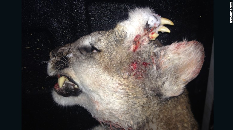 Deformed mountain lion a mystery