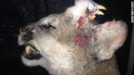 The Idaho Fish & Game Department released a photo of a mountain lion that had a strange deformity on its forehead late Thursday night. The mountain lion was legally hunted and killed by a hunter in Southern Idaho on December 30th and was subsequently reported to the Idaho Fish & Game Department and the following release was issued.