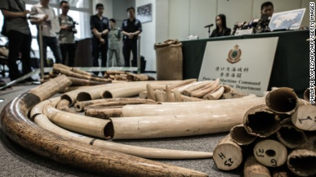"Ivory tusks are displayed by the Hong Kong Customs in Hong Kong on October 3, 2013. According to Hong Kong authorities, the customs conducted a series of anti-smuggling operations since late September, seizing a total of 189 ivory tusks weighing about 769 kilogrammes with a total value of about 11.53 million HKD (1.48 million USD), found in three containers arriving from the Ivory Coast declared as containing ""Soya"".  AFP PHOTO / Philippe Lopez        (Photo credit should read PHILIPPE LOPEZ/AFP/Getty Images)"