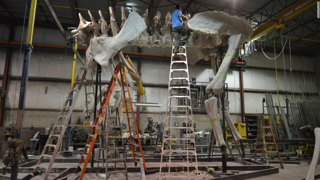 Based on the size of its front limb, scientists think this titanosaur would have stood 20 feet from the ground to its shoulder, according to the American Museum of Natural History.
