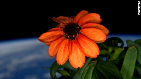 Astronaut Scott Kelly tweets a photo of a zinnia flower in full bloom in space.