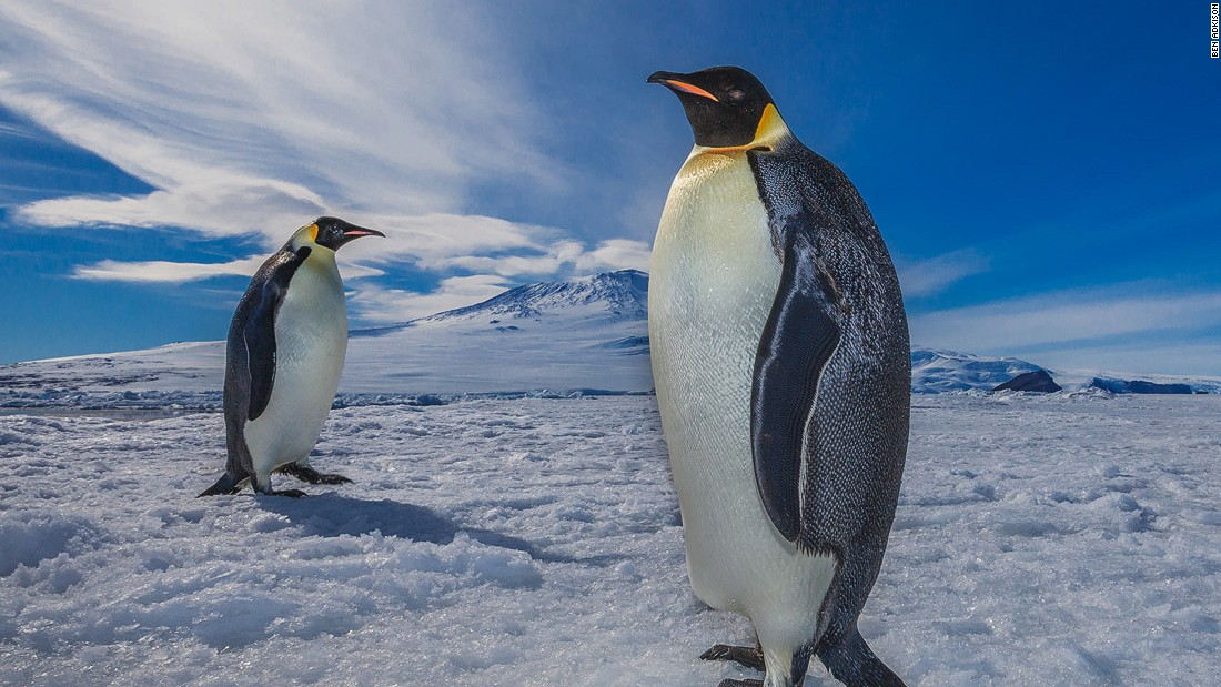 "Around the globe, penguins are at risk of extinction due to overfishing and man-made changes to their breeding grounds.<br /><br /><em>Ben Adkison is a freelance photographer based in Montana. His photos from remote corners of the world can be found on <a href=""https://www.facebook.com/BenAdkisonPhotography"" target=""_blank""><em></em>Facebook<em></a></em> and his </em><em><a href=""http://www.benadkisonphotography.com/"" target=""_blank"">website</em></a>."