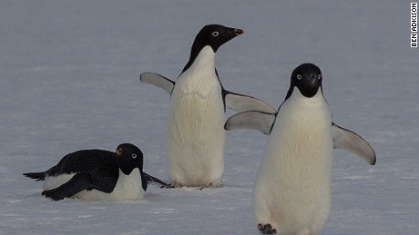 On January 20th we celebrate the world's 17 penguin species with Penguin Awareness Day.  While penguins are the mascot for Antarctica, they are found on three other continents.  Antarctica isn't the easiest place to plan a vacation to so you can also set your sights on South Africa, Chile, Argentina, Australia or New Zealand for penguin spotting.  Today we celebrate the largest emperor penguins in Antarctica to the smallest little penguins in New Zealand.