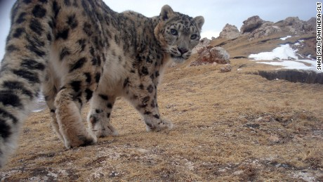 Camera trap photo of a snow leopard on the Tibetan Plateau, Qinghai province, China