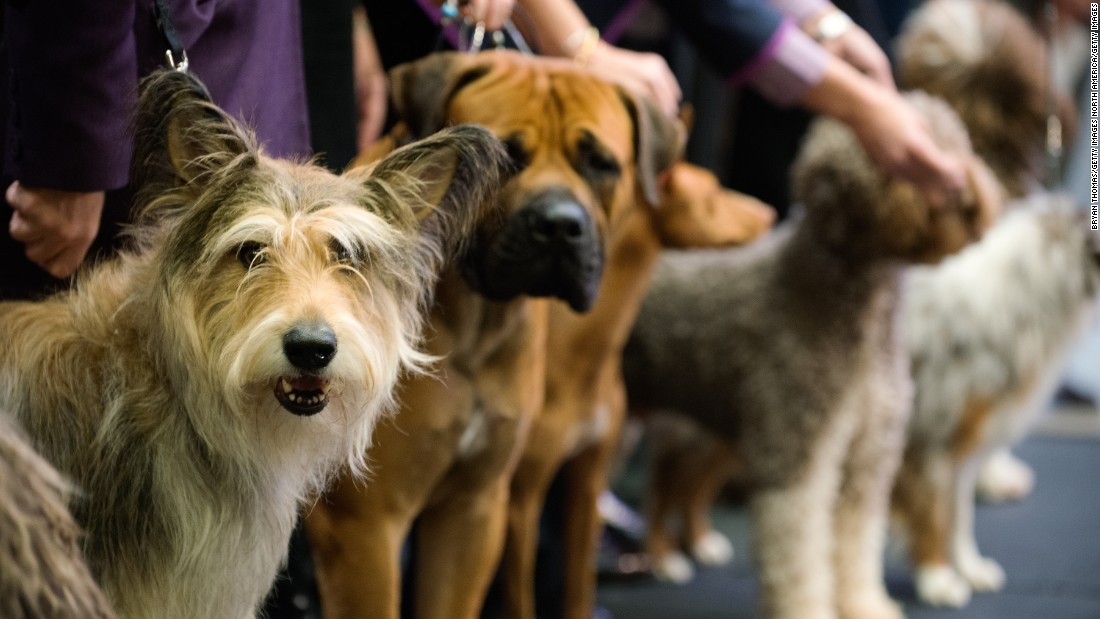 Westminster Dog Show Entries