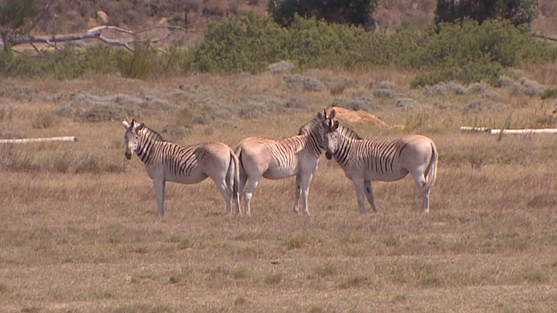 Could a zebra species be brought back from extinction?
