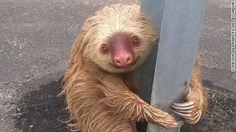 Sloth rescue by Ecuadorian transit authorities
