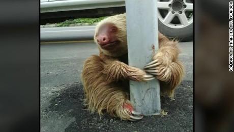 ecuador sloth highway rescue sot_00003219.jpg