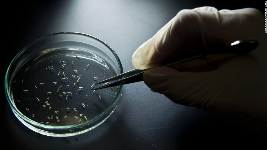 Aedes aegypti mosquitos are seen at the University of Sao Paulo on January 8. Researchers from the Pasteur Institute in Dakar, Senegal, came to Brazil to train local researchers to combat the Zika virus epidemic.