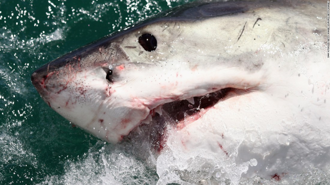 """A Great White Shark. In December 2010, a series of shark attacks near the Red Sea resort of Sharm el-Sheikh, Egypt left a<a href=""""http://edition.cnn.com/2010/WORLD/meast/12/06/egypt.shark.attack/""""> German woman dead and injured three snorkelers. </a>But an Egyptian official felt there were more to the attacks than met the eye. Mohamed Abdel Fadil Shousha, the regional governor, said it's not <a href=""""http://www.telegraph.co.uk/news/worldnews/africaandindianocean/egypt/8185915/Shark-sent-to-Egypt-by-Mossad.html"""" target=""""_blank"""">""""out of the question""""</a> that Israel could have planned the attacks to hit tourism in the country. <a href=""""http://www.bbc.co.uk/news/world-middle-east-11937285"""" target=""""_blank"""">Israel reportedly denied the claim. </a>"""