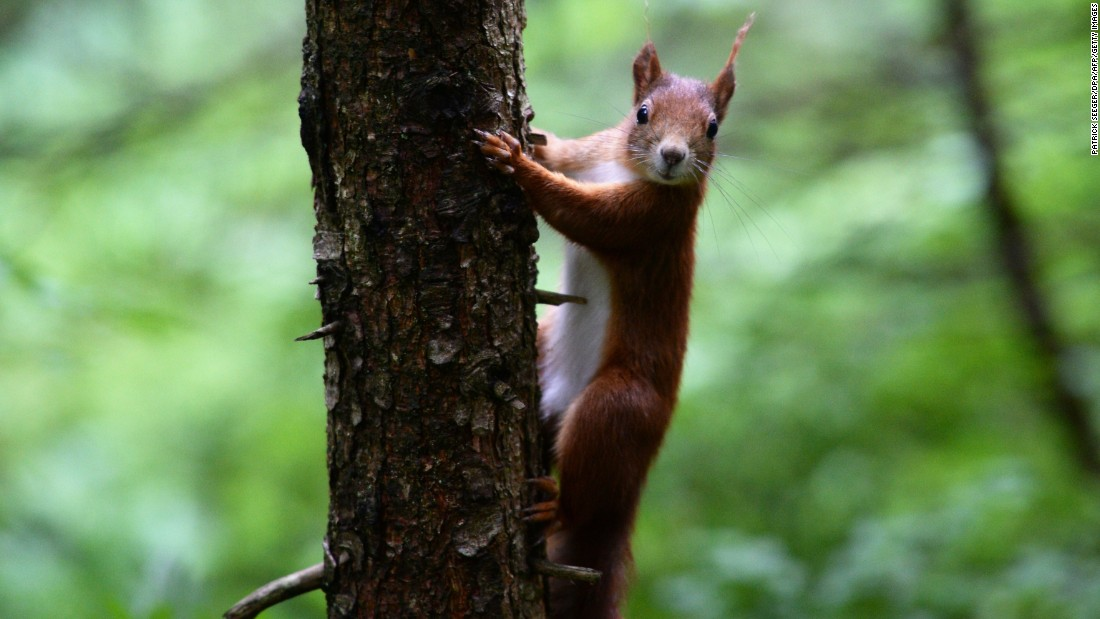 """In 2007, <a href=""""http://news.sky.com/story/526163/iranian-police-smash-squirrel-spy-ring"""" target=""""_blank"""">Iranian police believed that they had smashed a spy ring </a>-- of 14 squirrels. According to the official Republics News Agency, the rodents were equipped with eavesdropping devices. This picture shows a squirrel in Germany."""