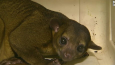 woman finds kinkajou in house florida dnt_00003312