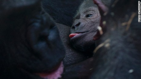 Gorilla Sindy feeds her newborn baby at the Artis Zoo in Amsterdam, Netherlands, Friday Jan. 22, 2016. The baby was born Thursday after an eight-and-half month pregnancy, Sindy's fifth pregnancy, the first two babies died, her other two sons are still in the capital's zoo. The baby has no name yet as the gender is not yet determined. (AP Photo/Peter Dejong)