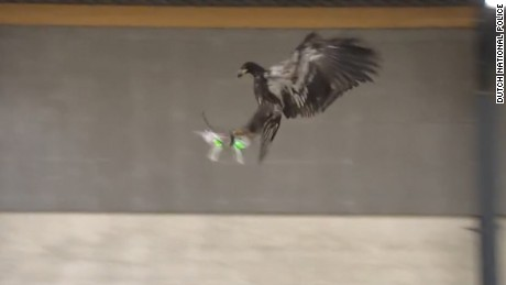 Dutch cops train eagles to hunt drones