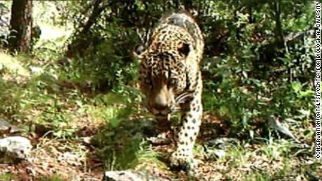 Rare wild jaguar spotted living in U.S.