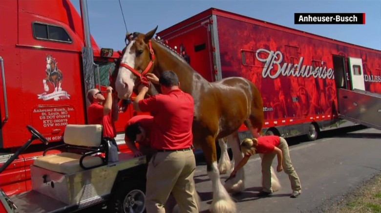 Where Budweiser Clydesdales are born, raised