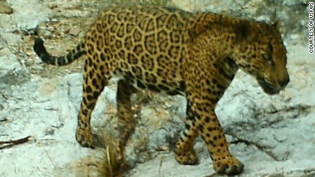 Male jaguar photographed by automatic wildlife cameras in the Santa Rita Mountains on April 10, 2014, as part of a U.S. Fish and Wildlife Service/Department of Homeland Security-funded jaguar survey conducted by University of Arizona. This jaguar has been repeatedly photographed in the Santa Rita Mountains.