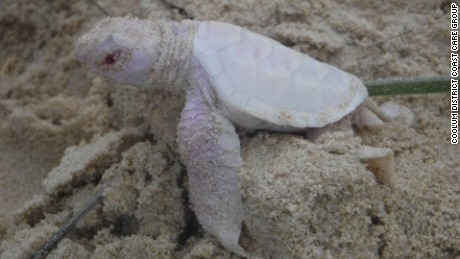 Alby, the albino Green turtle, born at Castaways Beach, Queensland, Australia.