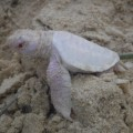 Alby albino green turtle 1