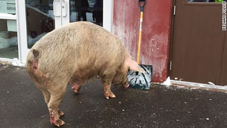 A 600-pound pig came pretty close to a polling station in Pelham, New Hampshire Tuesday morning.