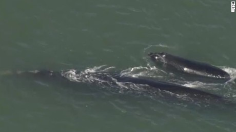 endangered right whales spotted sebastian inlet florida _00002920.jpg