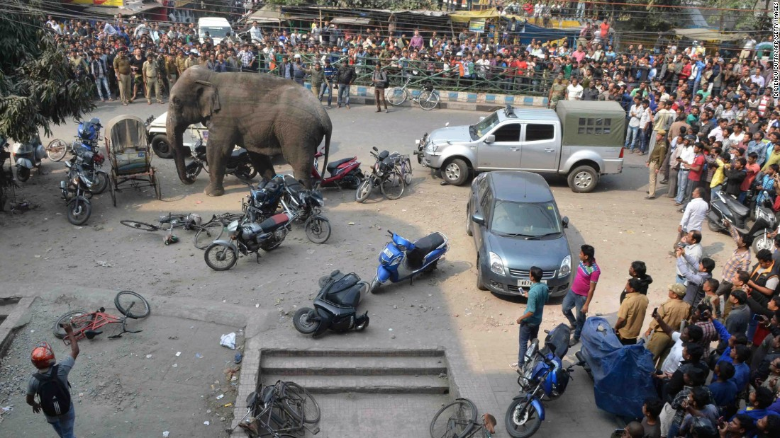 The elephant tramples some motorbikes.