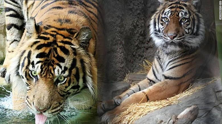Tiger mate death pkg_00004118