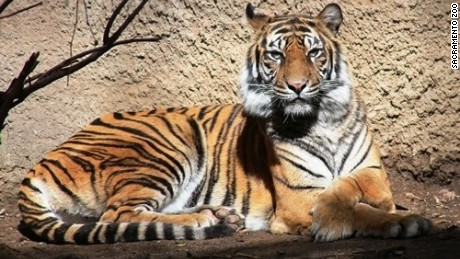 Baha, the female Sumatran tiger, is survived by five offspring.