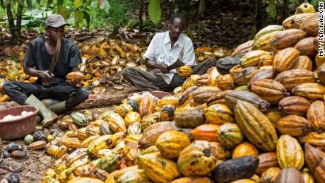 Cocoa plantation workers open ripe cocoa pods with a machete.