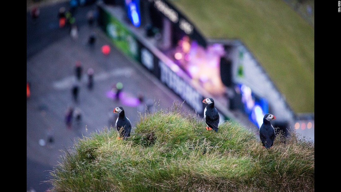 A group of puffins overlooks the annual Vestmannaeyjar Music Festival -- the largest in the country -- from the high cliffs of Iceland's Westman Islands.
