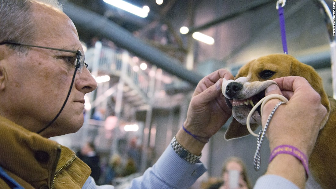 A man grooms his beagle on February 15.