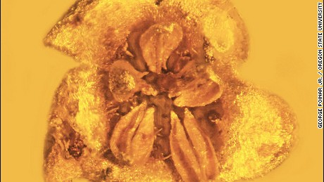 This blossom suspended in amber 15-30 million years ago is a new species discovery, Strychnos electri. It is likely highly poisonous.