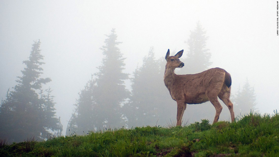 "A deer pauses along<a href=""http://www.nps.gov/olym/planyourvisit/visiting-hurricane-ridge.htm"" target=""_blank""> Hurricane Ridge</a>, the most easily accessed area at seventh place <a href=""http://www.cnn.com/2013/08/08/travel/olympic-national-park-visit/"">Olympic National Park</a>, which is located in Washington state. It's a key alpine destination in winter, with enough snow for snowshoeing, cross-country and downhill skiing (check snow conditions before you go)."