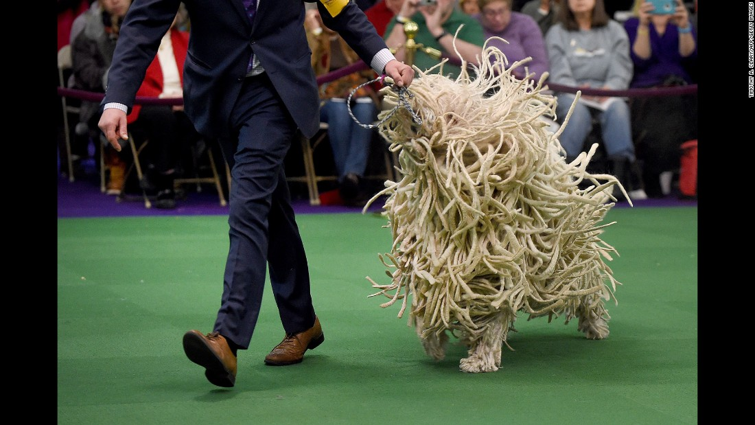 The First Westminster Dog Show