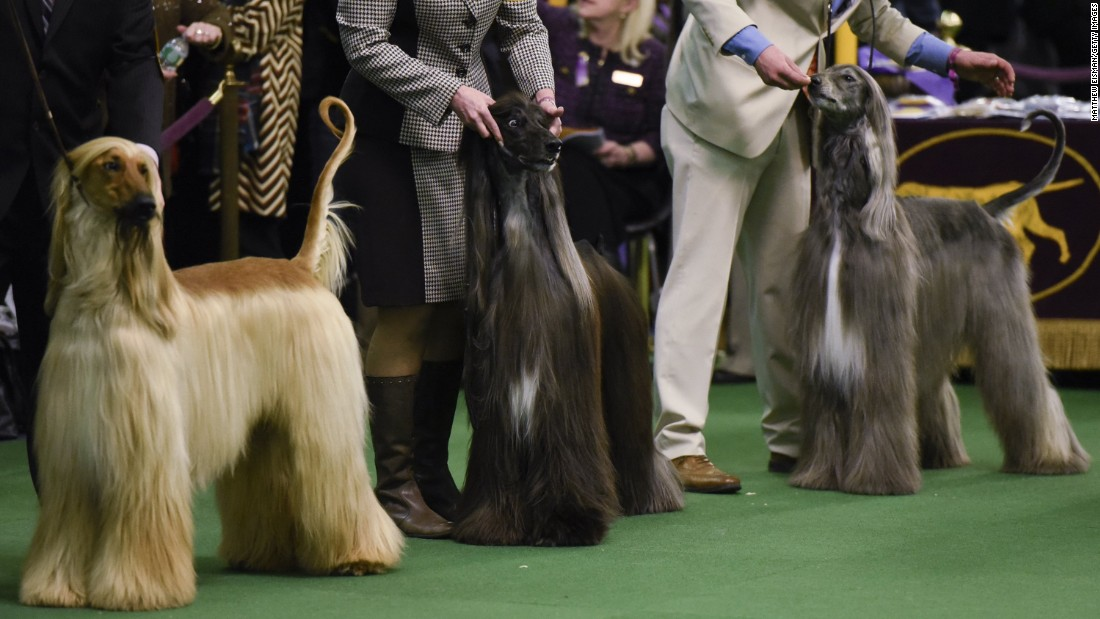 show dogs - photo #7
