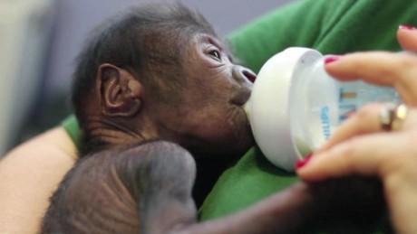 london caesarian gorilla birth morgan pkg_00000730.jpg