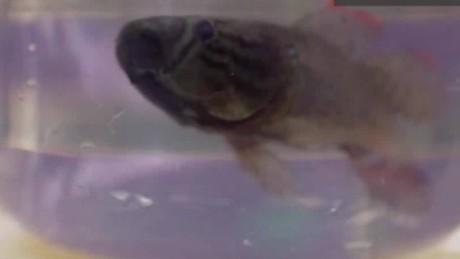 sambo fish eats zika cnn orig_00002517